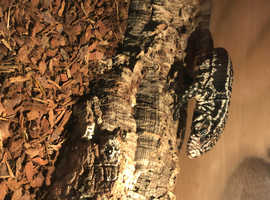 Black and white tegu 19month old