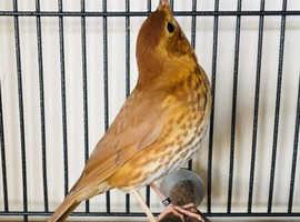 Male nightingale bird for sale