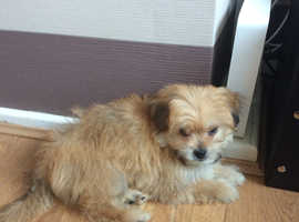 8 week old shihchon male puppy absolutely gorgeous loving temperament
