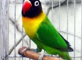 Stunning lovebird