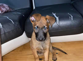 Belgian Malinois 12 weeks old