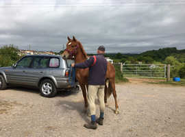 YEARLING GELDING TO MAKE 16HH