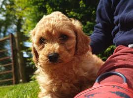 Stunning cavapoochon puppies