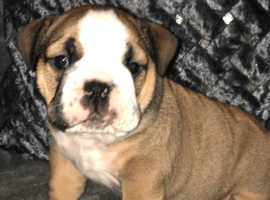 British bulldog puppies tri carriers for sale