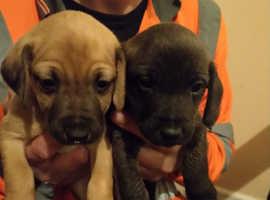 Whippet x Bedlington Terrier pups