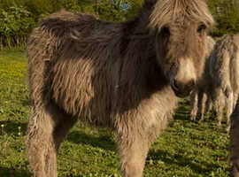 Yearling Jenny donkey for sale