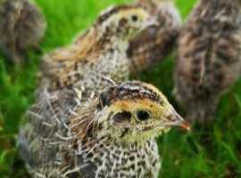 Quails. Pol. Hatching eggs.
