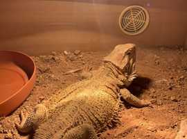 Bearded dragon and viv