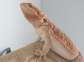 8 month old hypo het trans female bearded dragon