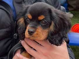 King charles cavalier boy pup kc
