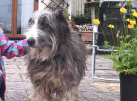 Missing bearded collie