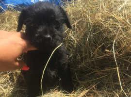 Three quarter border puppies