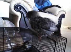 Black maran chick