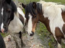 pretty gentle little b/white shetland mare