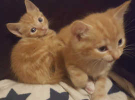 Two female ginger kittens. Ready to go 30th August.