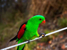 Australian red winged parrots