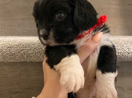Last one Lasha apso x male pup