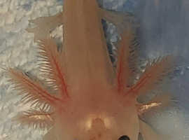 Axolotl's