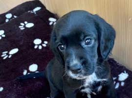 Bocker puppies for sale !!!