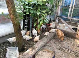 Chicken and chicks for sale