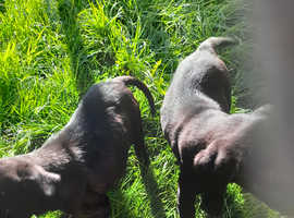 Black labradors puppies