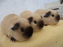 Guinea Pigs Californian , Cream , Buff and Self Whites