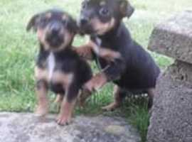 2 bouncy, gorgeous Minature Jack Russell pups