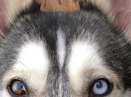 Amazing 3 year old husky