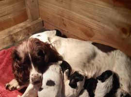 Blue Merle Sprocker Spaniel Puppies