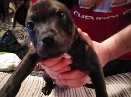 looking for her forever home staffy pup