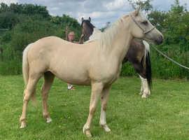 Quarter horse X Welsh Cob
