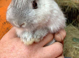 Different breeds of baby rabbits for sale *please read*