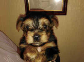 Yorkshire Terriers for sale one boy one girl