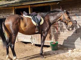 15.2 Quarter Horse Mare For Sale