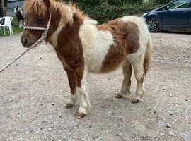 Shetland colt foal