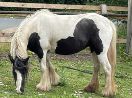 Lovely friendly small cob
