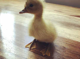 Duckling for sale
