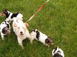 REDUCED!!!! Beautiful female Fox terrier puppy for sale