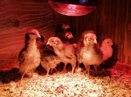 Pure Breed Chicks For Sale.