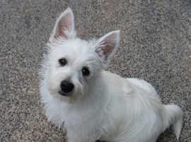 West Highland Terrier (Westie Puppies) For Sale