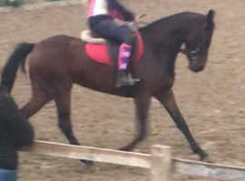 Mary 15.2 Irish Sport Mare2250
