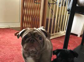 4 month old pug puppy