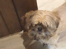 Cute lhaso Apso