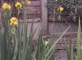 beautiful yellow flowering pond iris for sale ,