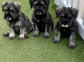 Miniature schnauzer puppies.