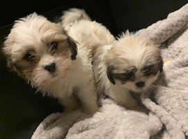 My gorgeous Shihchon pups for sale
