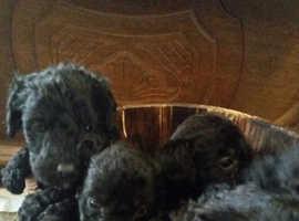 Patterpoo puppies