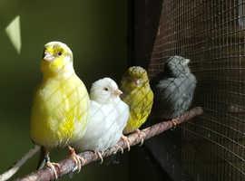 Fife fancy canary
