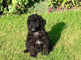 Black Miniature Poodle dog (boy) Puppy K.C. Reg