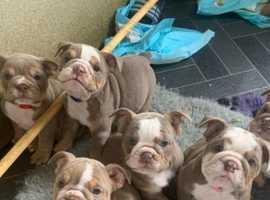 Gorgeous bulldog puppies